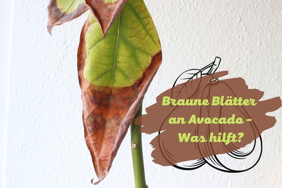 Braune Blätter an Avocado