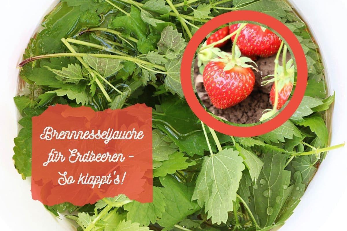 Brennnesseljauche für Erdbeeren