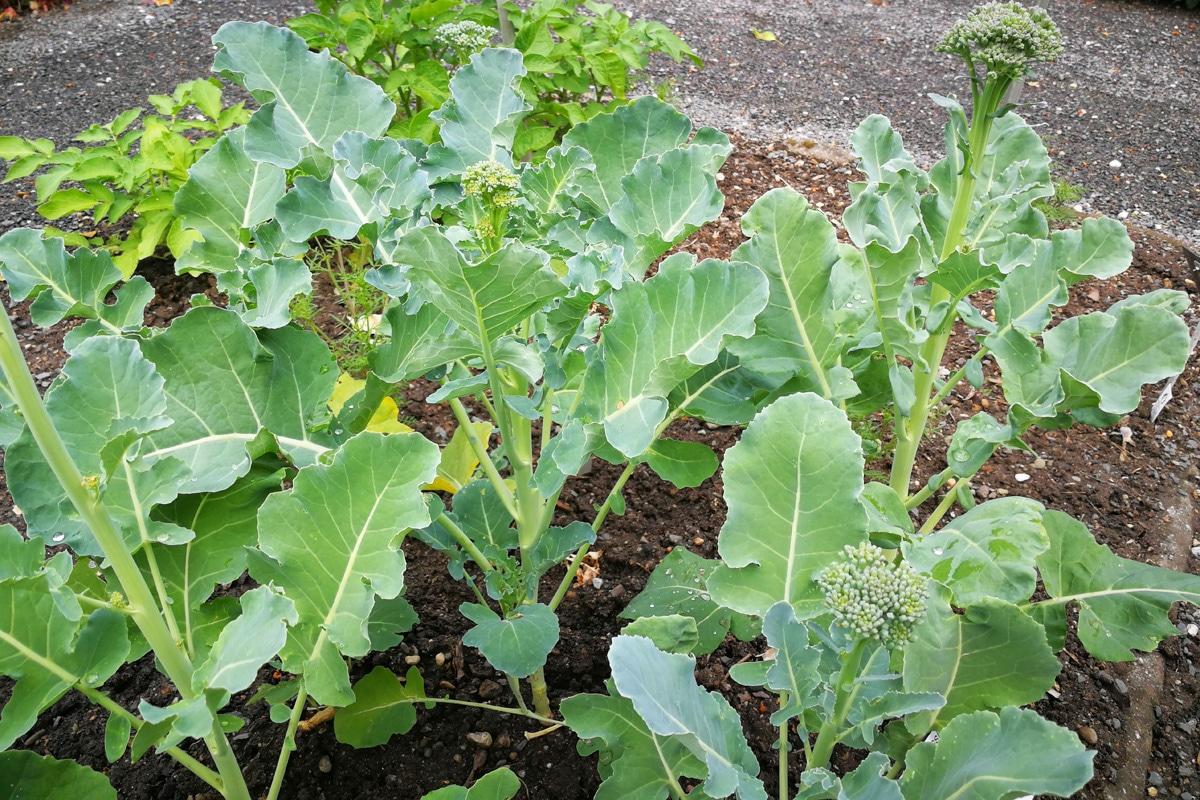 Gute Nachbarn für Koriander - Brokkoli