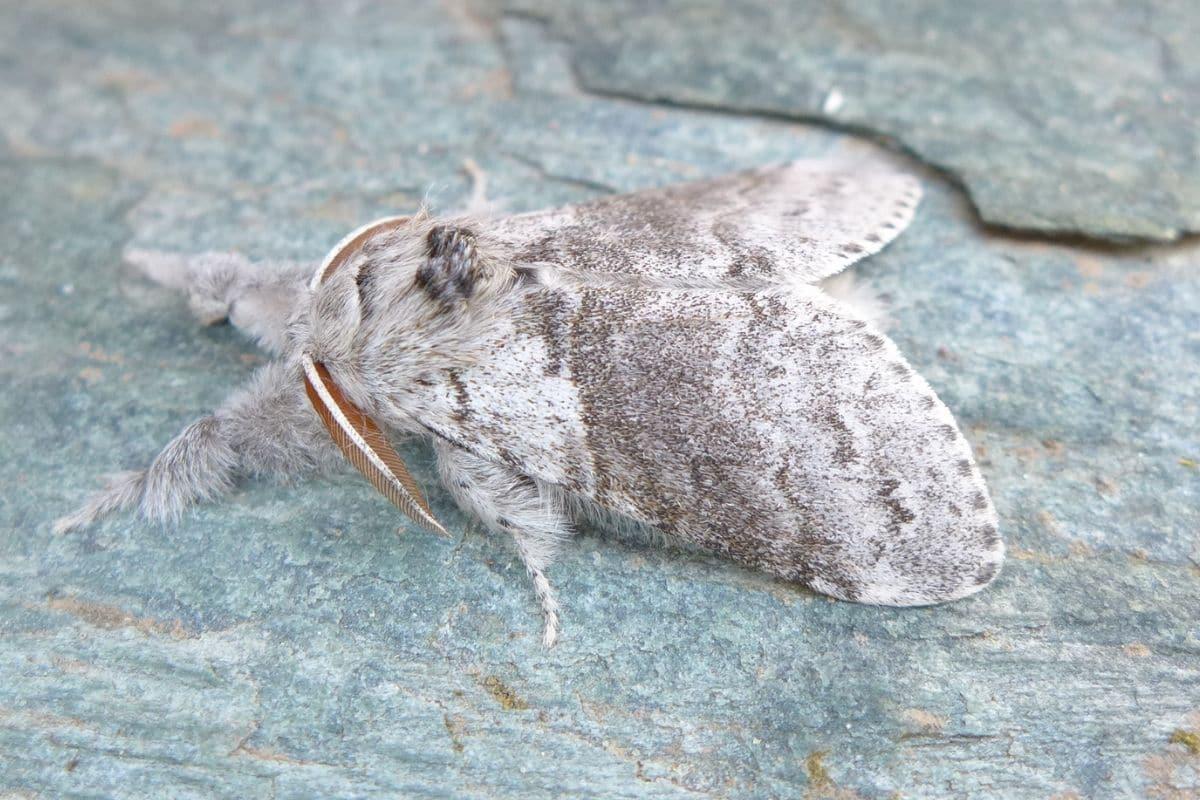 Buchen-Streckfuß - Calliteara pudibunda