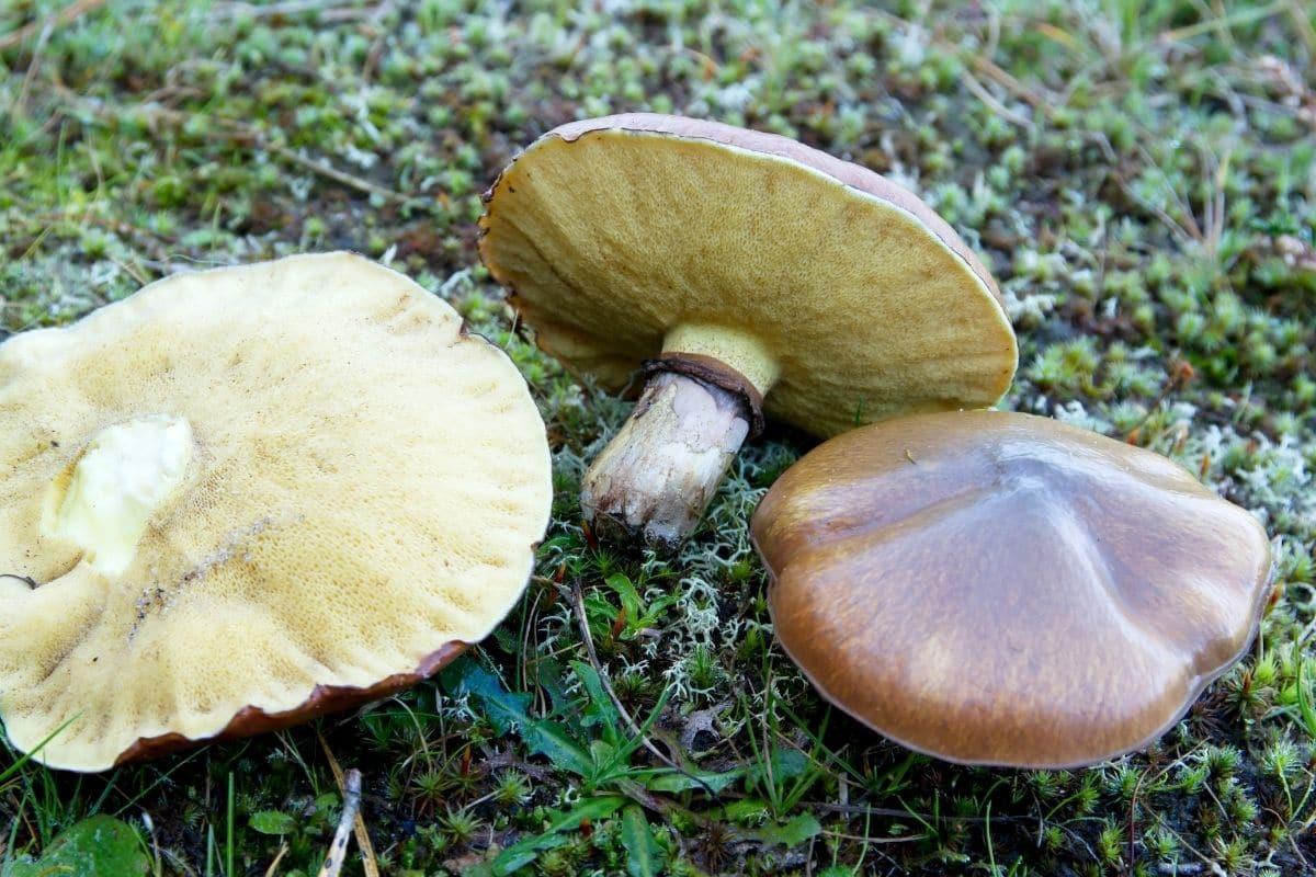 Pilze im Garten - Butterpilz