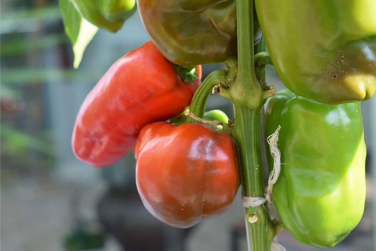 Chilis werden nicht rot - Habanero-Chili