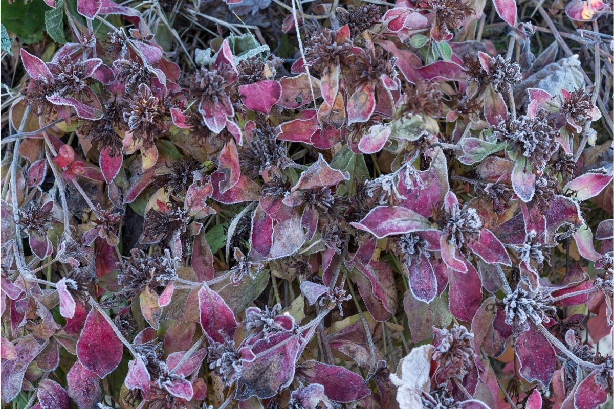 Balkonblumen für Herbst und Winter - Chinesischer Bleiwurz