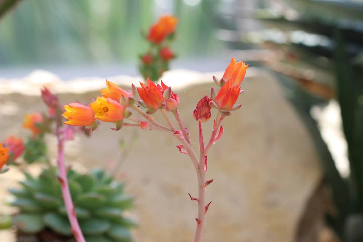 Sukkulenten-Arten - Echeveria derenbergii