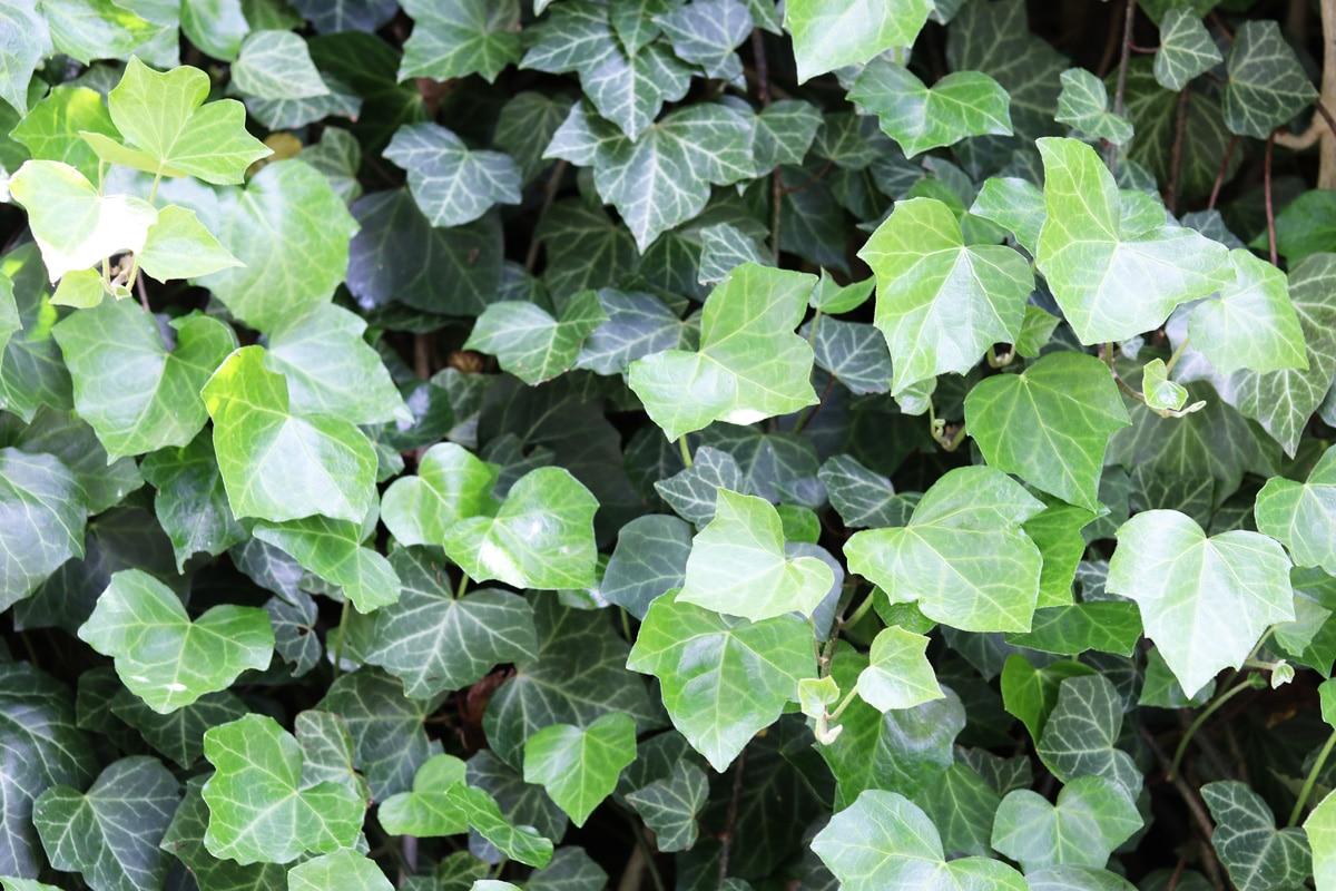 Blumenkästen im Herbst und Winter bepflanzen - Efeu