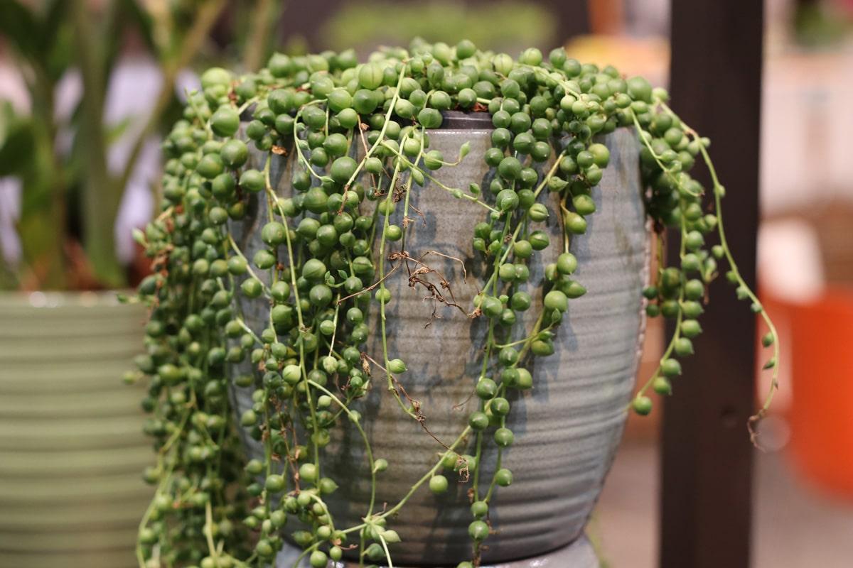 Erbsenpflanze - Senecio rowleyanus