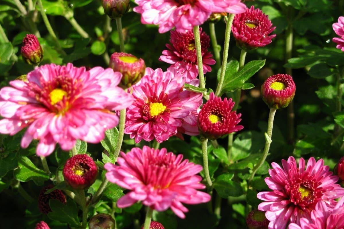 Blumenkästen im Herbst und Winter bepflanzen - Garten-Chrysantheme