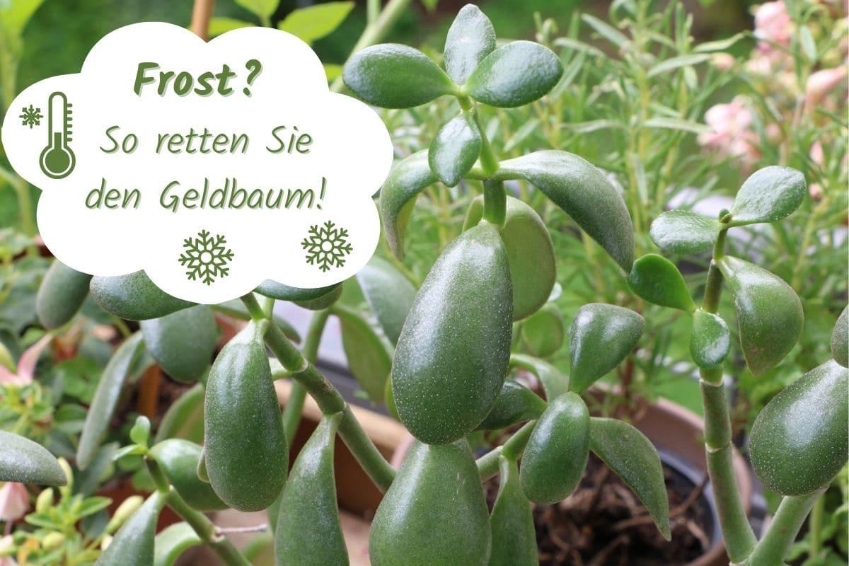 Geldbaum nach Frost retten - Geldbaum