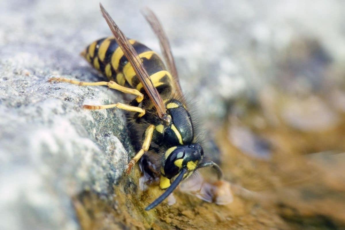 Gemeine Wespe - Vespula vulgaris
