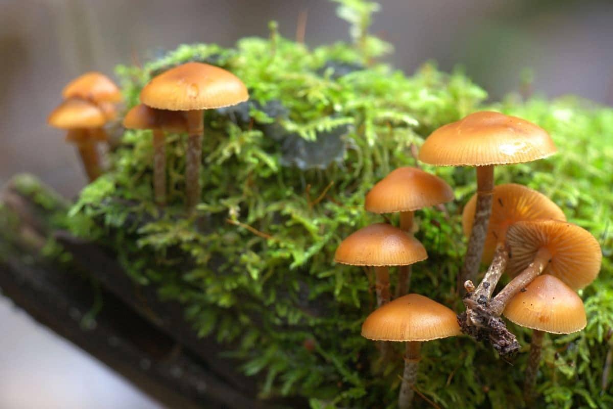 Gift-Häubling - Galerina marginata