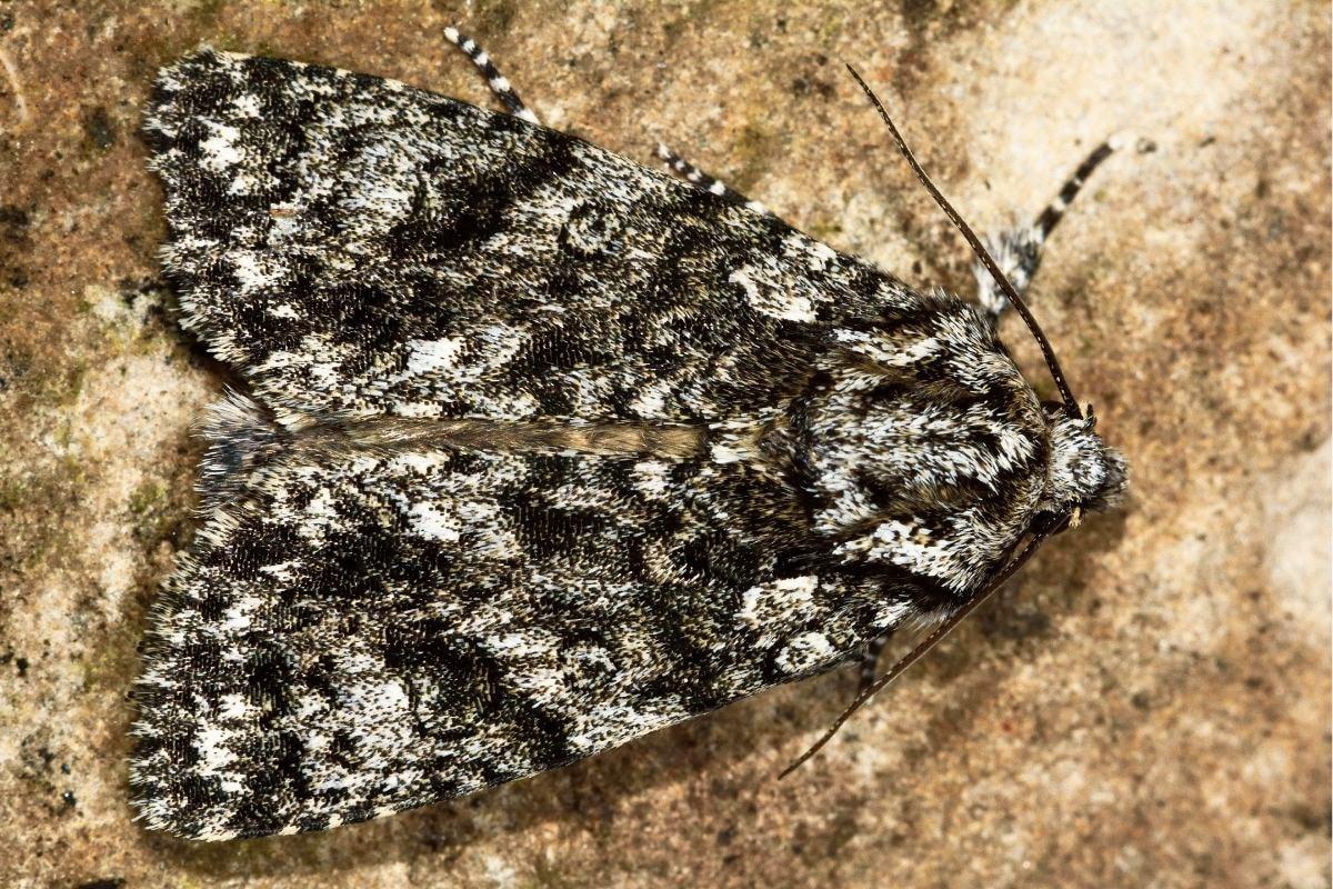 Großkopf-Rindeneule - Acronicta megacephala