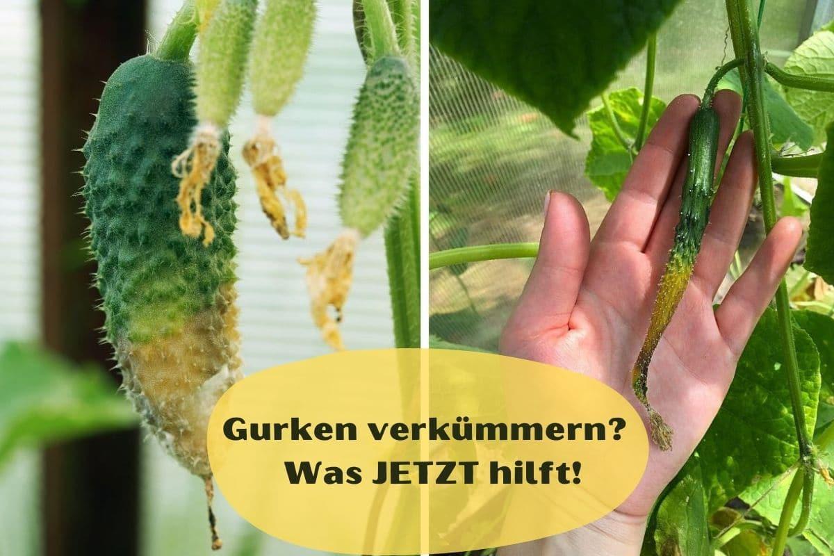 Gurken wachsen nicht