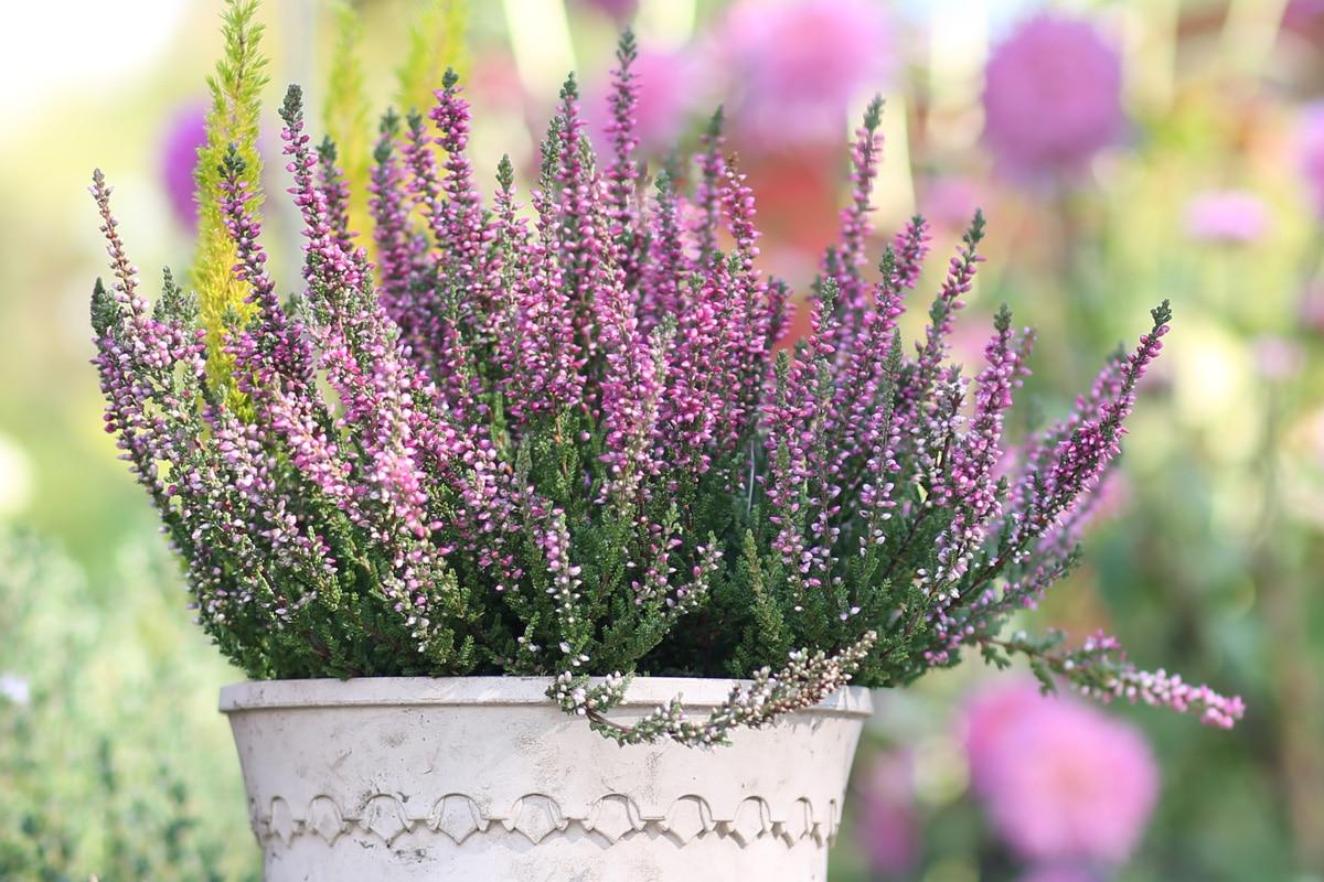 Balkonblumen für Herbst und Winter - Heidekraut