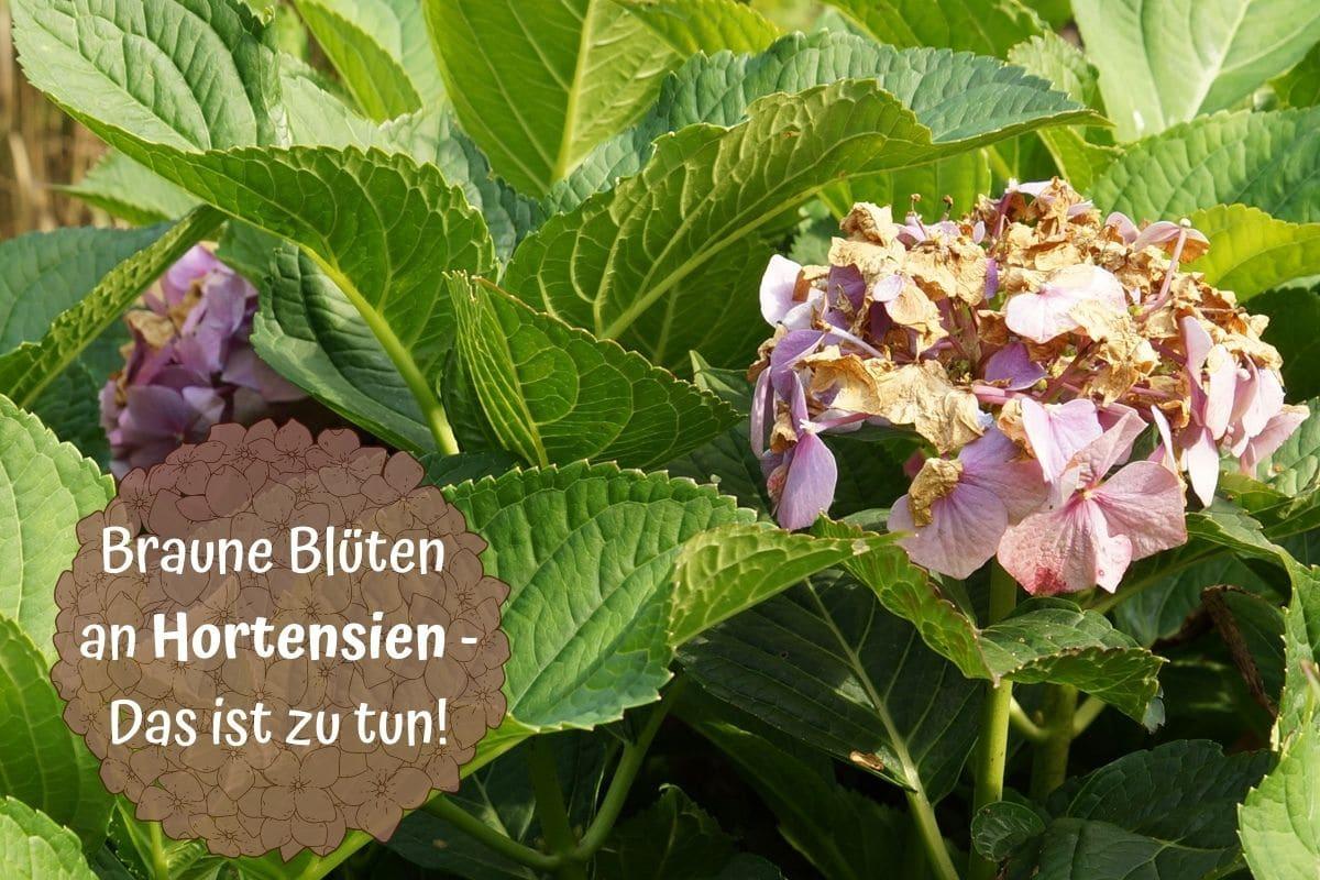 Hortensienblüten werden braun