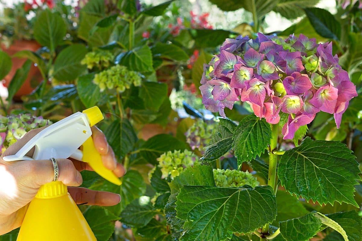 Hortensien richtig gießen