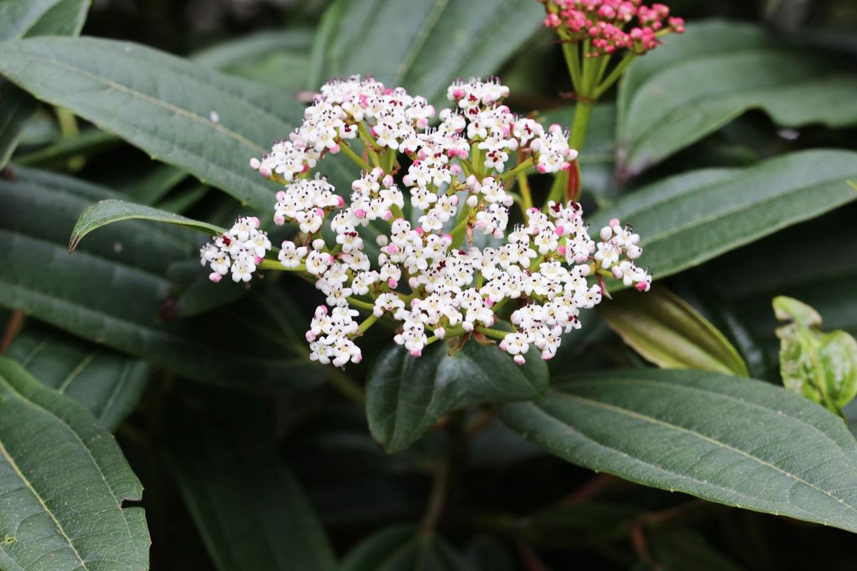Immergrüner Kissenschneeball - Viburnum davidii