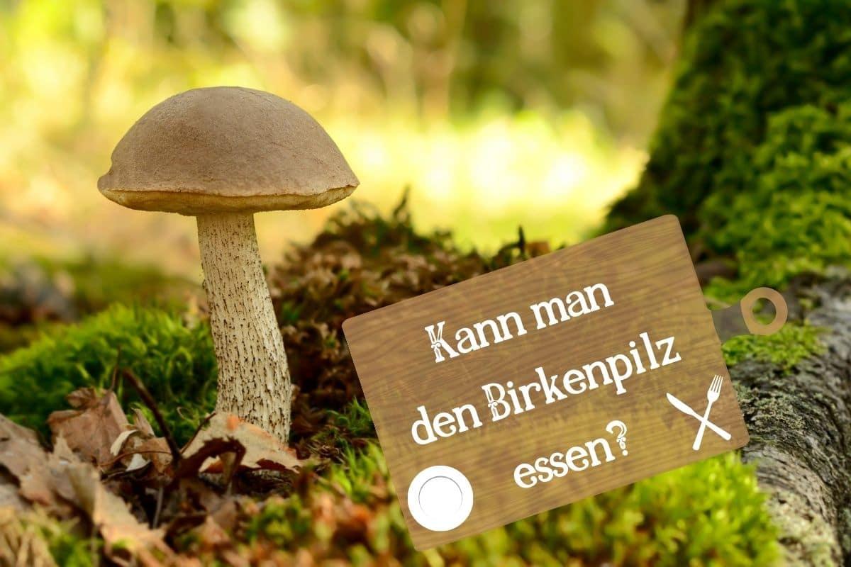 Birkenpilz - Leccinum scabrum