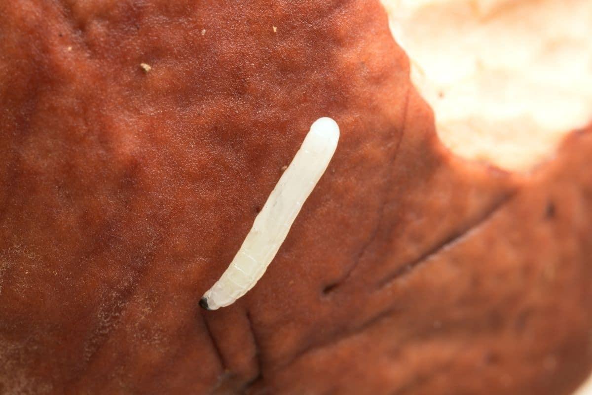 Kaffeesatz gegen Fliegen - Larve der Trauermücke