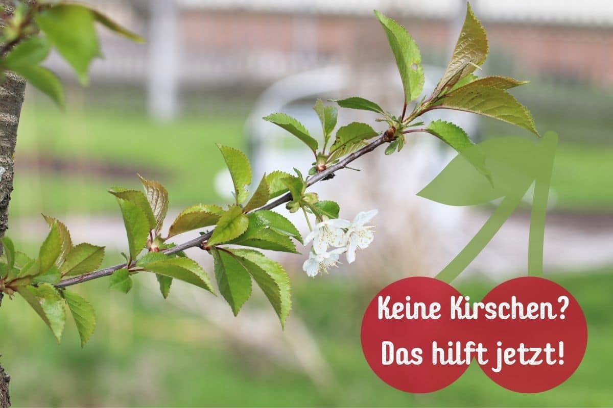 Kirschbaum trägt keine Früchte