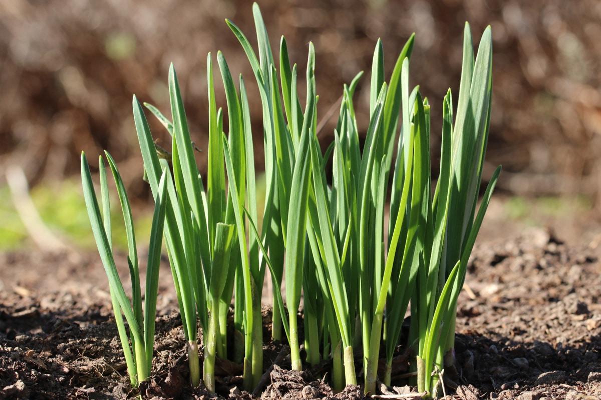 Knoblauch (Allium sativum)