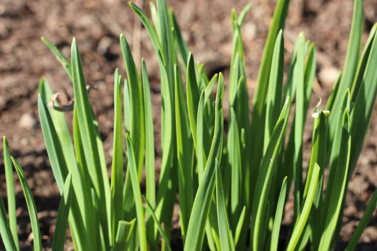 Petersilie Nachbarn - Knoblauch - Allium sativum