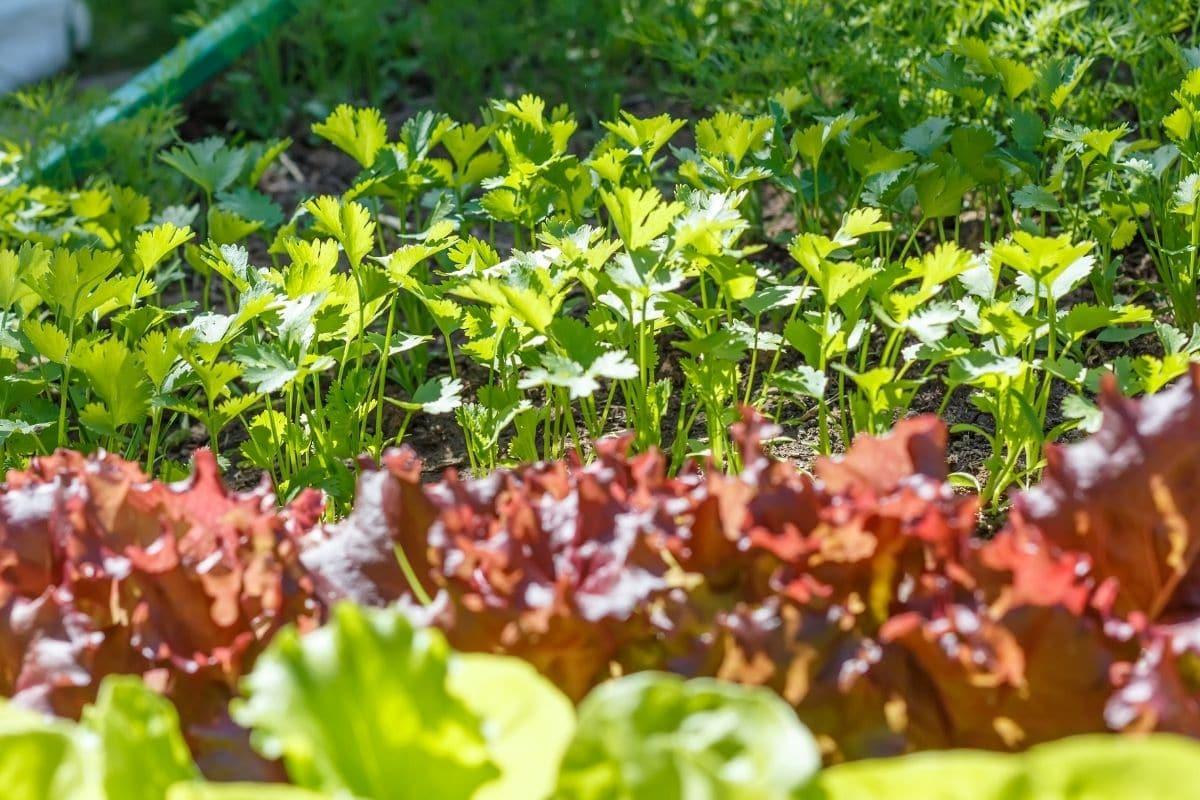 Koriander im Gemüsebeet