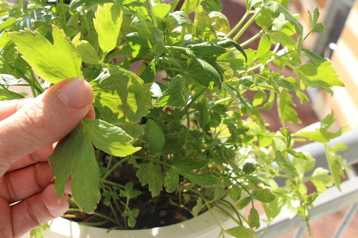 Liebstöckel - Hand an Blättern