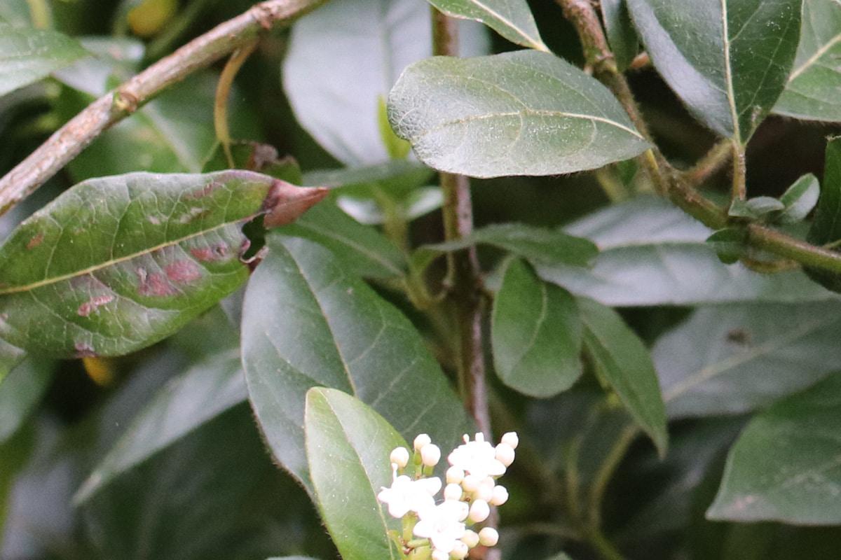Braune Flecken an Schneeball-Blättern