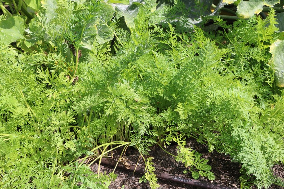 Möhre - Daucus carota