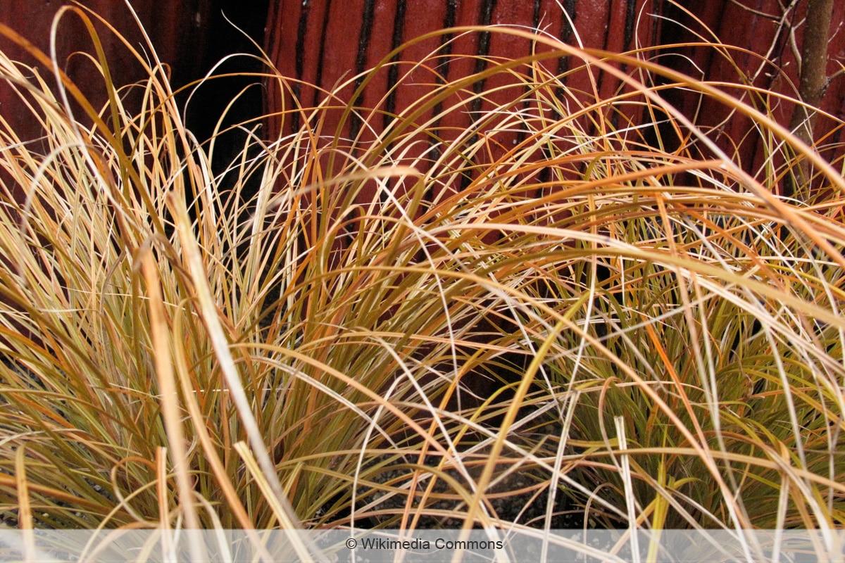 Neuseeland-Gras - Carex testacea