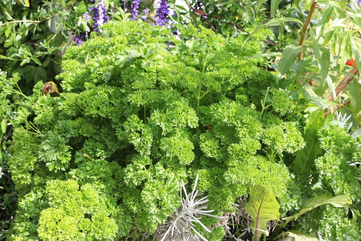 Petersilie - Petroselinum crispum