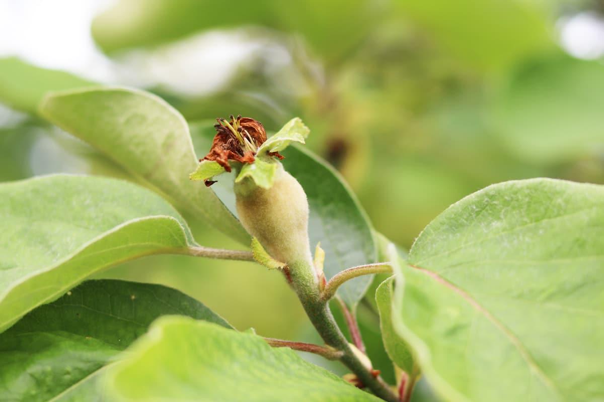 Quitte - Blüte mit Frucht