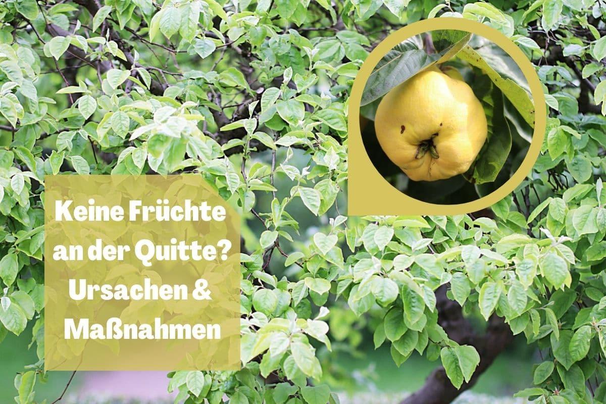 Quitte trägt keine Früchte