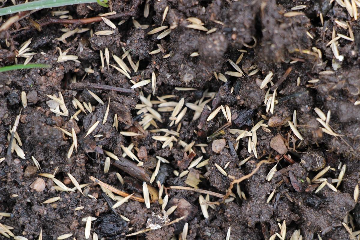 Frisch gesäter Rasen