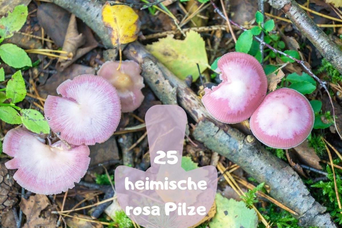 Rosa Pilze - Rosa-Rettich-Helmling