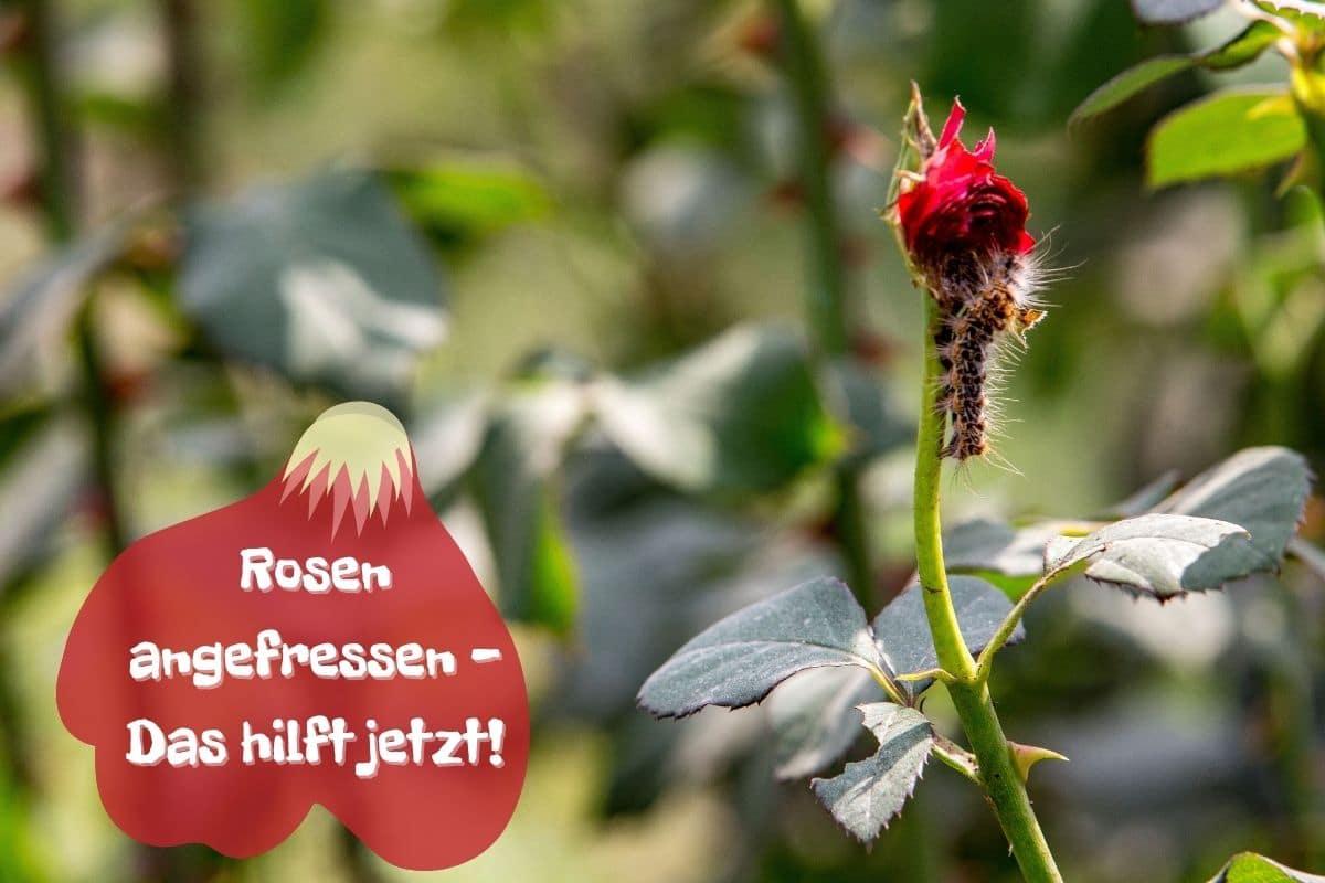 Angefressene Rosen - Raupe an Rosenblüte