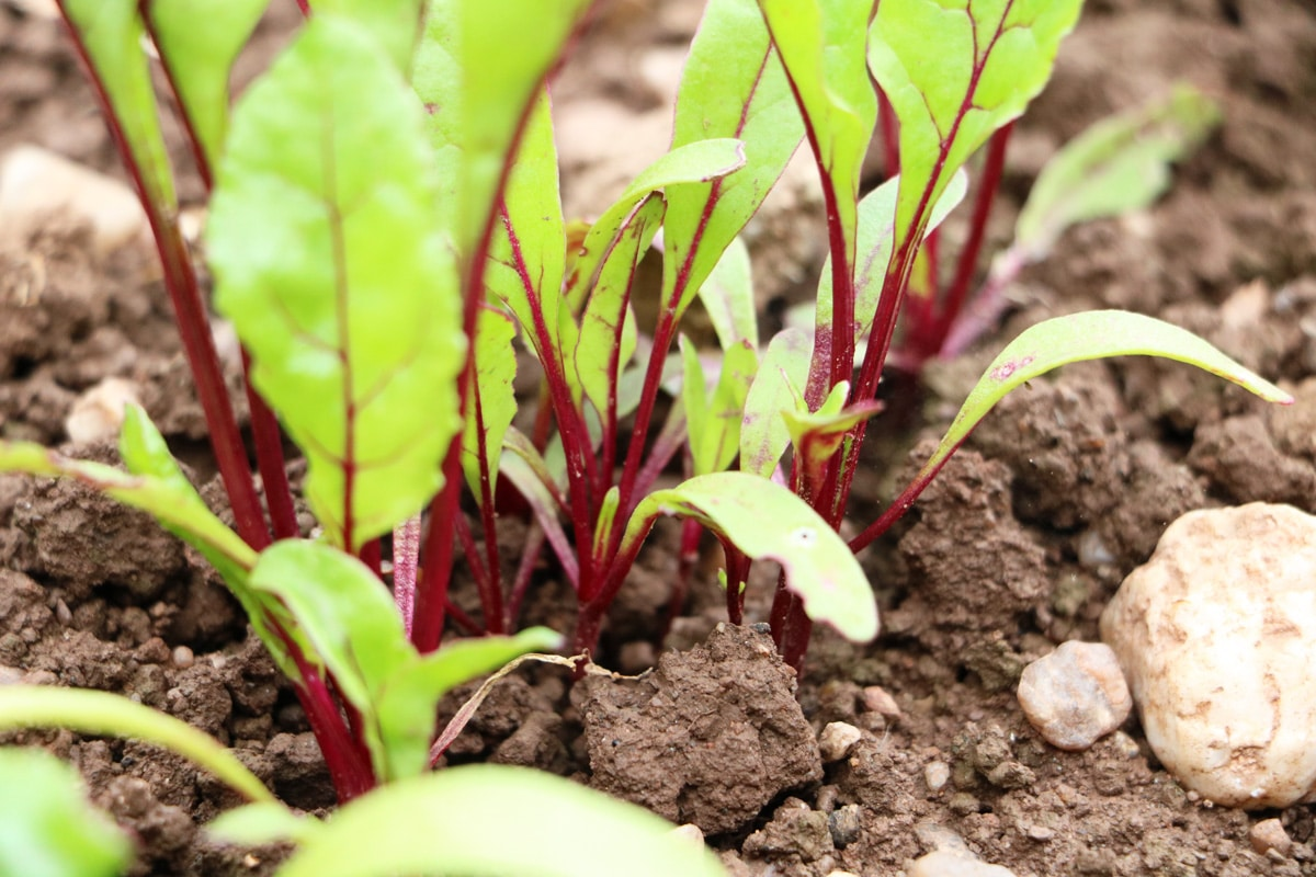 Rote Beete - Beta vulgaris subsp. vulgaris
