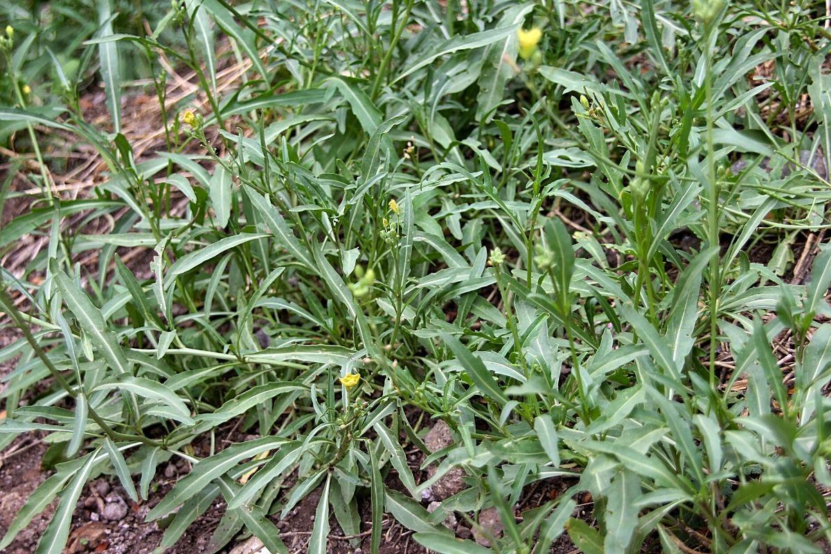 Petersilie Nachbarn - Rucola - Diplotaxis tenuifolia
