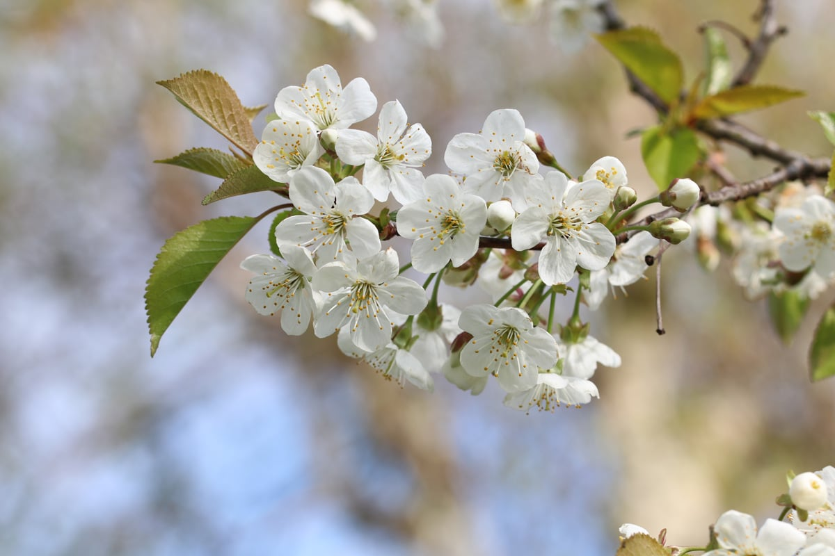 Blüten der Sauerkirsche