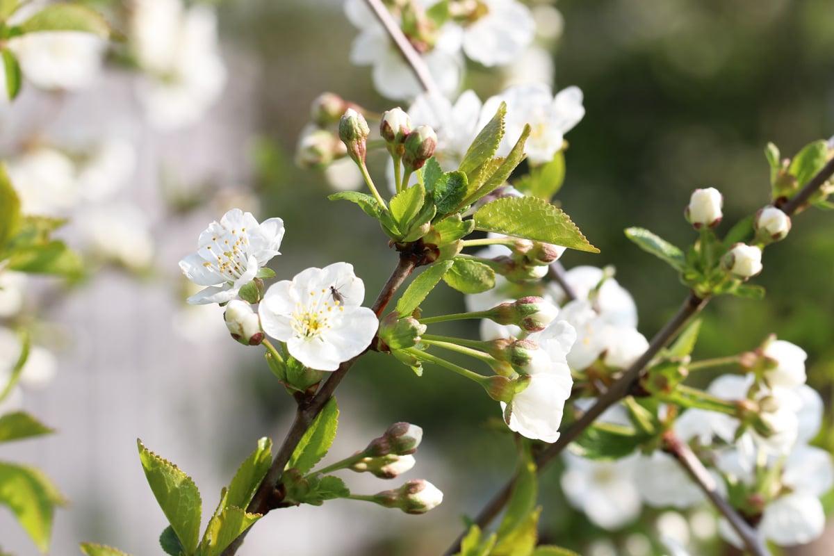 Prunus cerasus 'Saphir'