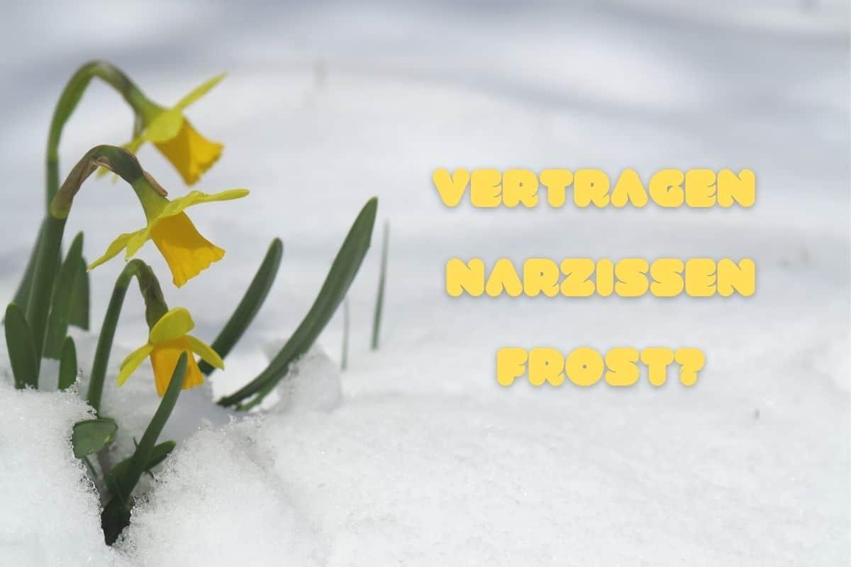 Narzissen mit Frost