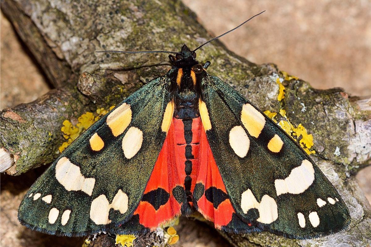 Schönbär - Callimorpha dominula