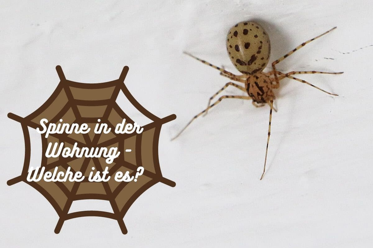 Spinne in der Wohnung