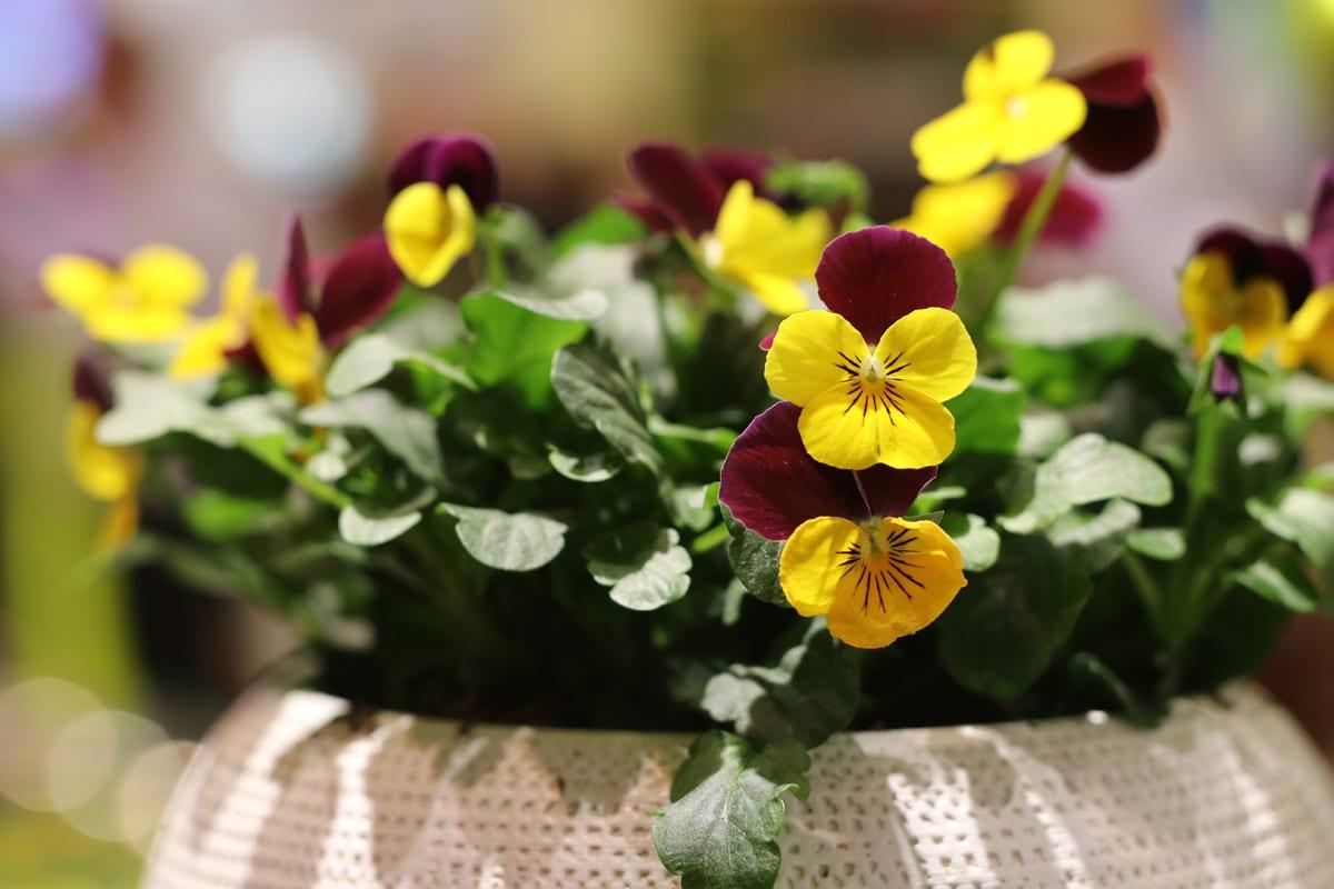 Balkonblumen für Herbst und Winter - Stiefmütterchen