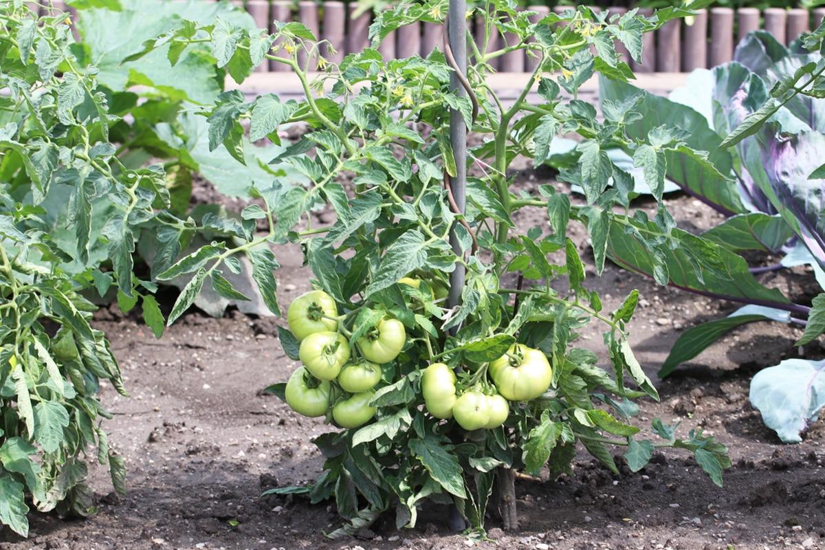 Gute Nachbarn für Koriander - Tomaten