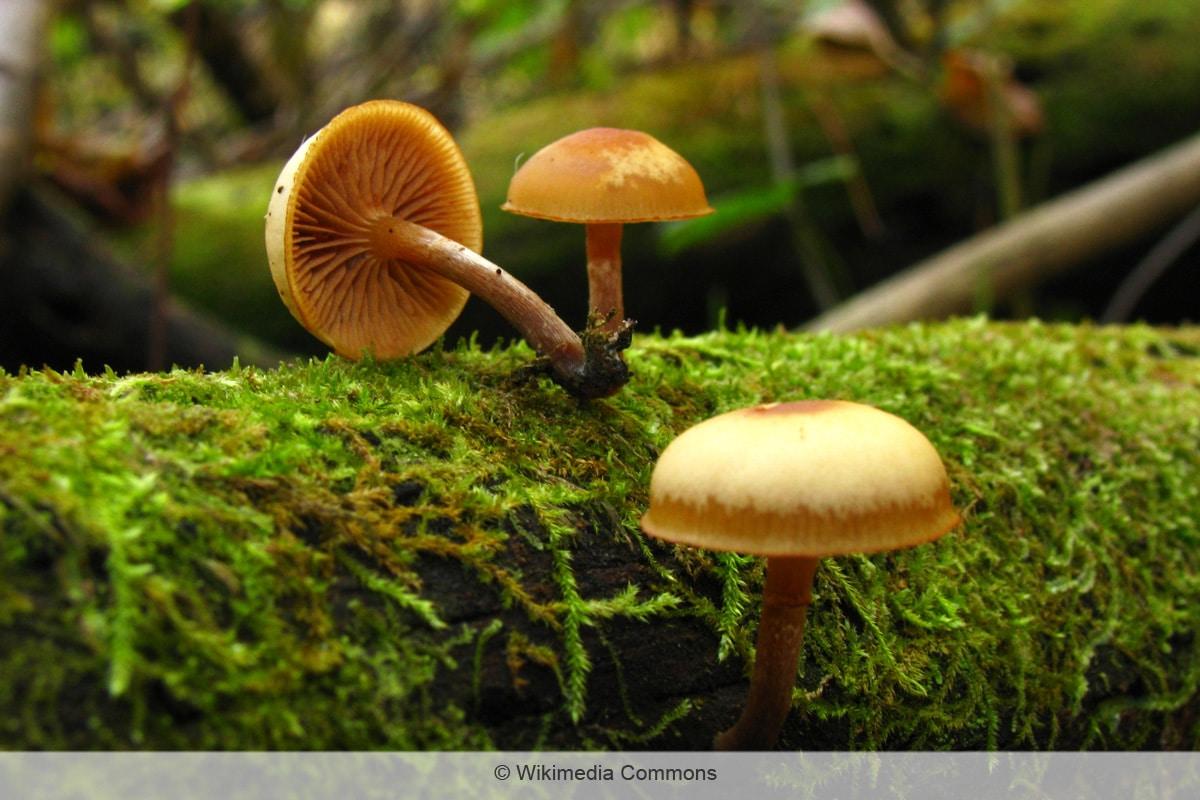 Überhäuteter Häubling - Galerina autumnalis