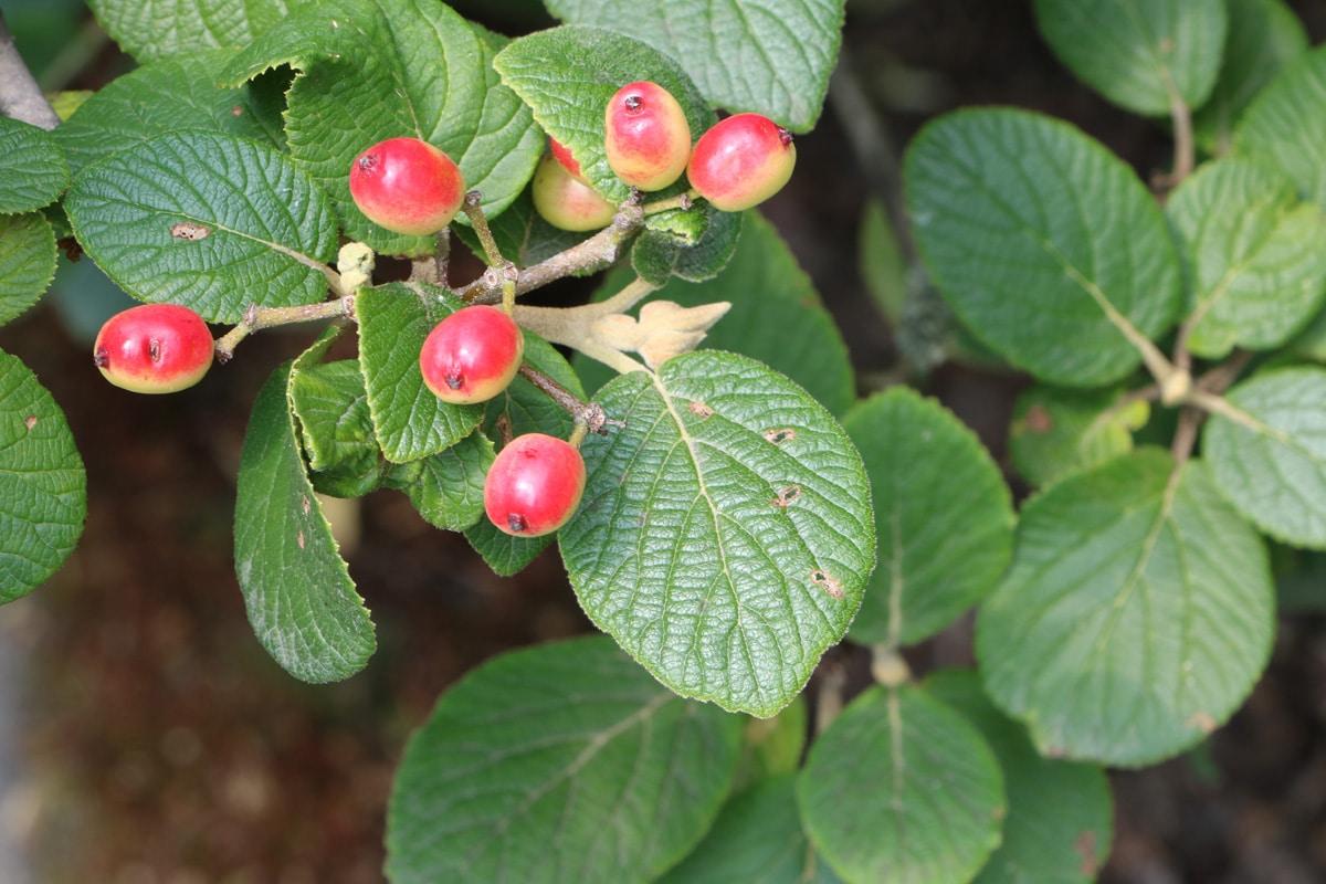 Viburnum schensianum