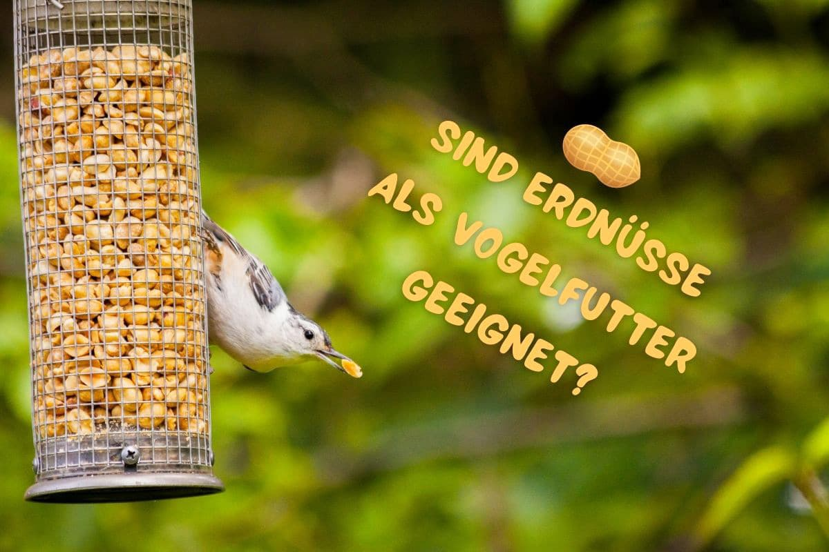 Erdnüsse als Vogelfutter