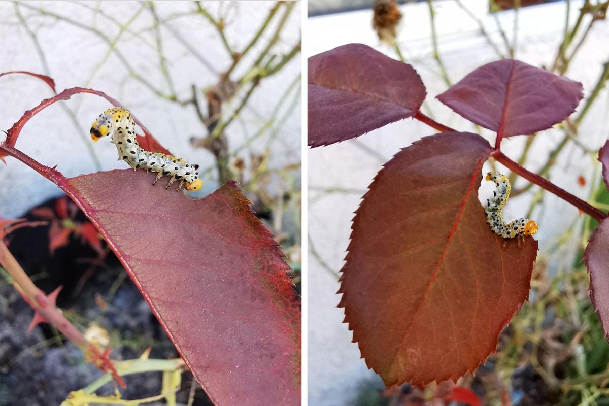 Larve der Weißgegürtelten Rosenblattwespe - Allantus cinctus