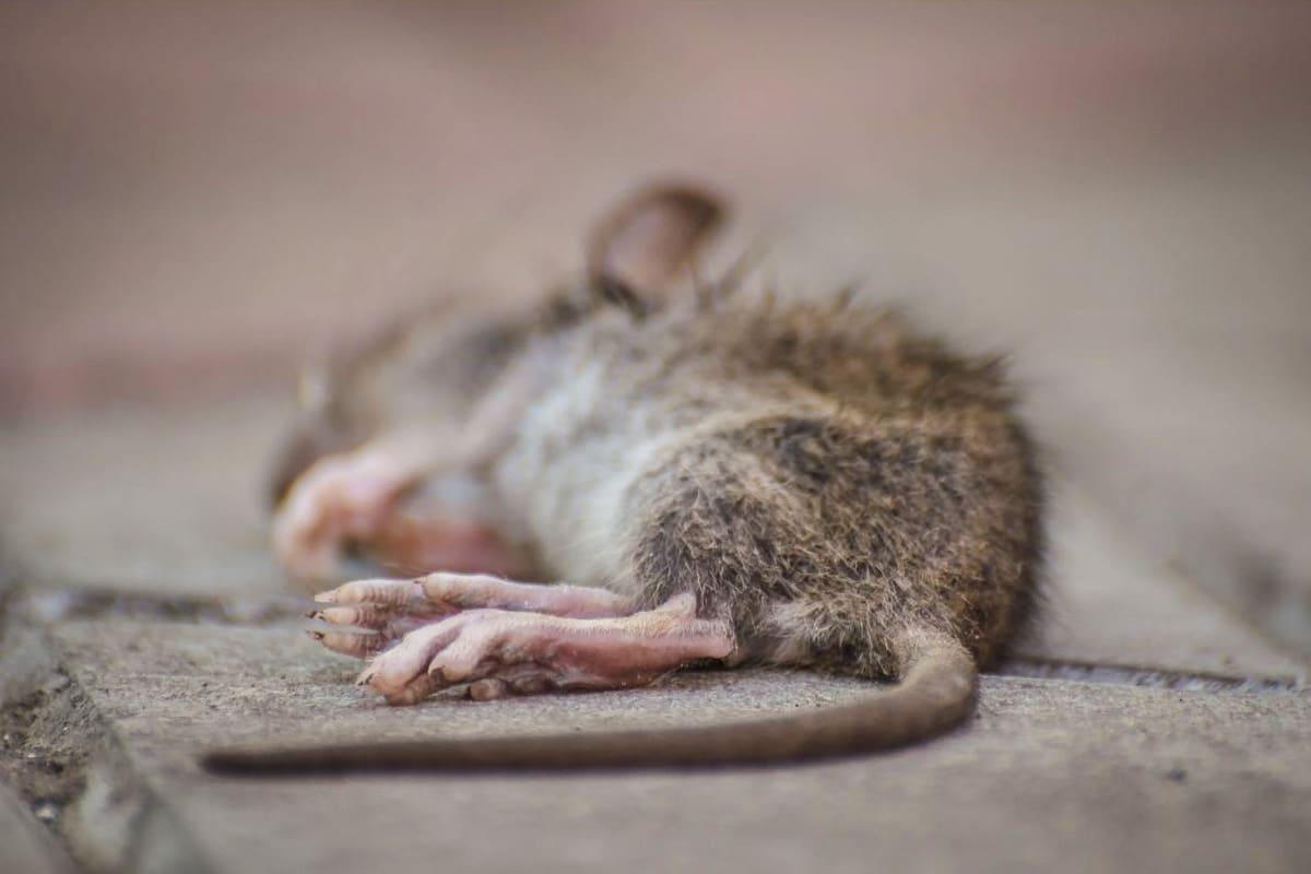 Wie Lange Stinkt Eine Tote Maus